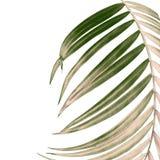 Hojas del verde de la palmera en el fondo blanco Foto de archivo