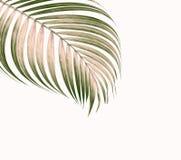 Hojas del verde de la palmera en el fondo blanco Fotografía de archivo