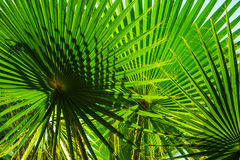 Hojas del verde de la palmera en la sol Fotografía de archivo