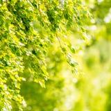 Hojas del verde de la primavera del árbol de abedul Fotos de archivo libres de regalías