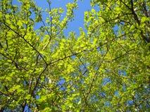 Hojas del verde de la primavera Gatchina del álamo imágenes de archivo libres de regalías