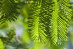 Hojas 2 del verde de la primavera y del verano del Metasequoia imagen de archivo