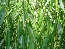 Hojas del verde de la textura del sauce Fotos de archivo