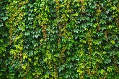 Hojas del verde de la uva Imágenes de archivo libres de regalías