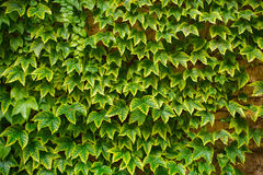 Hojas del verde de la uva Imagen de archivo