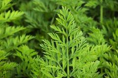 Hojas del verde de la zanahoria Foto de archivo libre de regalías