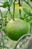 Hojas del verde de las frutas de árbol anaranjado de la rama Foto de archivo libre de regalías
