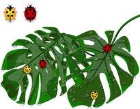 Hojas del verde de palmeras tropicales en gotitas de la lluvia, rocío Monstera y mariquitas Aislado en el fondo blanco Imagen de archivo