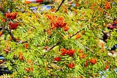 Hojas del verde de un árbol con las bayas, fruta del serbal, árbol del verano Invitaciones naturales Los rayos del sol caen en la fotos de archivo libres de regalías