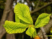 Hojas del verde de una castaña en una rama Fotografía de archivo