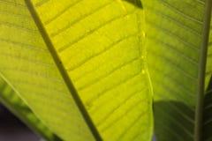 Hojas del verde de una planta de goma Fotos de archivo