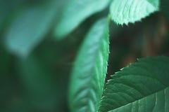Hojas del verde de una planta de la rosa con un fondo borroso Fotografía de archivo libre de regalías