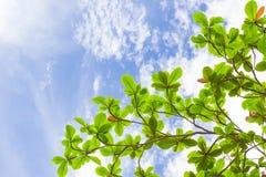Hojas del verde del árbol Foto de archivo