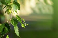 Hojas del verde del árbol de abedul en primavera Hojas frescas del verde en abedul Fotos de archivo