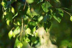 Hojas del verde del árbol de abedul en primavera Hojas frescas del verde en abedul Imagen de archivo libre de regalías