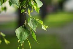 Hojas del verde del árbol de abedul en primavera Hojas frescas del verde en abedul Fotos de archivo libres de regalías