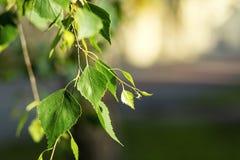 Hojas del verde del árbol de abedul en primavera Hojas frescas del verde en abedul Imagen de archivo