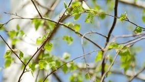 Hojas del verde del árbol del bearch contra el cielo azul cantidad de 4k UltraHD almacen de metraje de vídeo