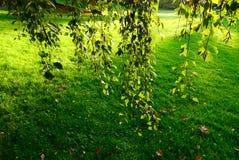Hojas del verde del abedul Fotos de archivo