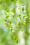 Hojas del verde del abedul. Resorte Fotos de archivo