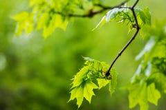 Hojas del verde del arce en una rama Foto de archivo