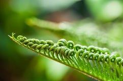 Hojas del verde del cycad Foto de archivo