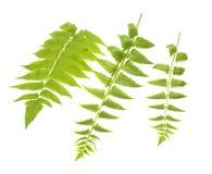Hojas del verde del helecho aisladas en blanco Imagenes de archivo