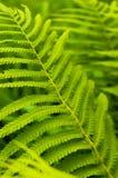 Hojas del verde del helecho, bosque tropical Imagen de archivo libre de regalías