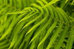 Hojas del verde del helecho, bosque tropical Fotografía de archivo