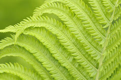 Hojas del verde del helecho en fondo Fotografía de archivo libre de regalías