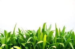 Hojas del verde del lirio de Crinum Imagen de archivo