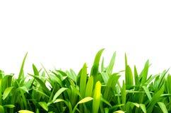 Hojas del verde del lirio de Crinum Foto de archivo