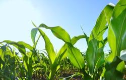 Hojas del verde del maíz en cielo azul Imágenes de archivo libres de regalías