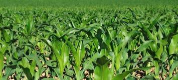 Hojas del verde del maíz en un campo Foto de archivo libre de regalías