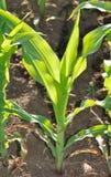 Hojas del verde del maíz en un campo Imagen de archivo libre de regalías