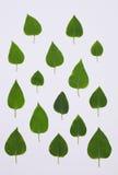 Hojas del verde del modelo del arbusto de la lila en el backgroun blanco fotografía de archivo
