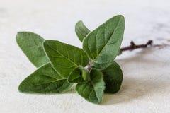 Hojas del verde del orégano Fotografía de archivo libre de regalías