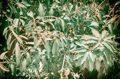 Hojas del verde del árbol de mango Imagen de archivo libre de regalías