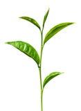 Hojas del verde del té aisladas Imágenes de archivo libres de regalías