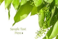 Hojas del verde del verano aisladas en blanco Fotografía de archivo