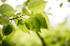 Hojas del verde después de la lluvia Imagen de archivo