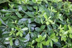 Hojas del verde después de la lluvia Fotos de archivo