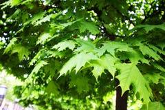 Hojas del verde en árbol Imágenes de archivo libres de regalías