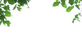 Hojas del verde en blanco metrajes