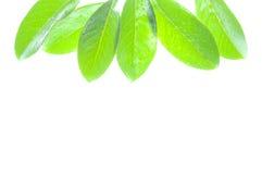 Hojas del verde en blanco Imagen de archivo libre de regalías