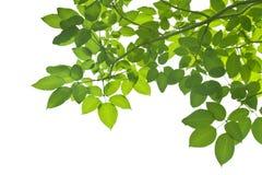 Hojas del verde en blanco Fotografía de archivo