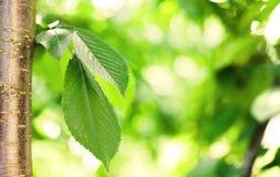 Hojas del verde en cerezo con el bokeh Fotografía de archivo
