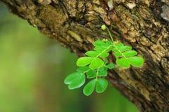 Hojas del verde en el árbol Fotos de archivo