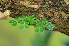 Hojas del verde en el árbol Fotografía de archivo