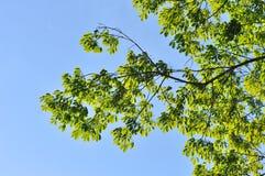 Hojas del verde en el cielo azul Fotos de archivo